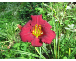 Hemerocallis Ruby Stella