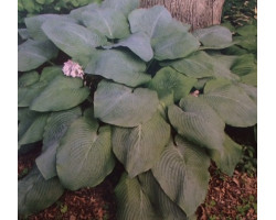Hosta 'Blue Mammoth'