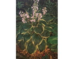 Hosta 'Christmas Tree'