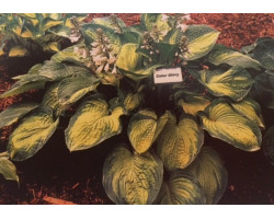 Hosta 'Color Glory'