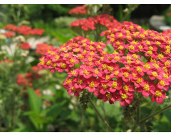 Achillea millefolium 'Strawberry Seduction' - Herbe à dinde