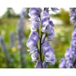 Aconitum 'Stainless Steel' - Aconit