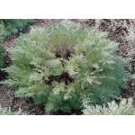 Artemisia 'Silver Mound' -  Armoise