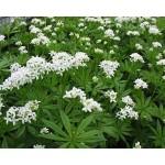 Asperula odorata - Aspérule - Galium odoratum