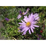 Aster 'Monch'