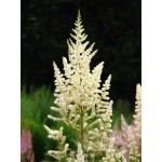 Astilbe japonica 'Diamant'