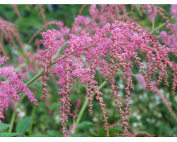 Astilbe arendsii 'Red Charm'