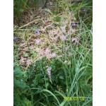 Astilbe simplicifolia 'Sprite'