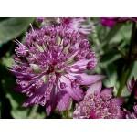Astrantia major 'Star of Beauty' - Radiaire