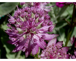Astrantia major 'Star of Beauty' - Radiaire