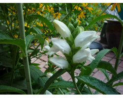Chelone obliqua 'Alba' - Galane