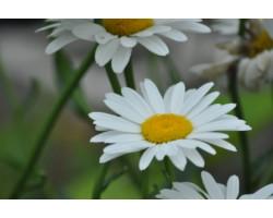 Chrysanthem superbum 'Becky' - Marguerite - Leucanthemum
