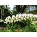 Cimicifuga ramosa 'White Pearl' - Cierge d'argent