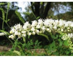 Cimicifuga ramosa 'White Pearl' - Cierge d'argent