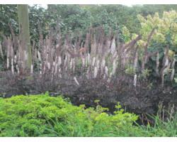 Cimicifuga ramosa 'Atropurpurea' - Cierge d'argent