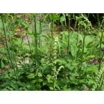 Cimicifuga racemosa - Cierge d'argent