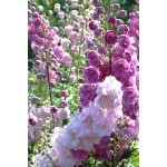 Delphinium Pacific Giant 'Astolat'