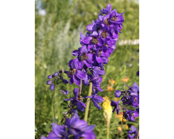 Delphinium Pacific Giant 'Black Knight'