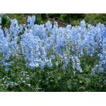 Delphinium Magic Fountains 'Sky Blue'