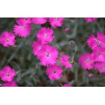 Dianthus gratianopolitanus 'Firewitch' - Oeillet