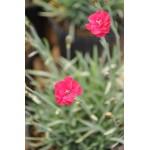 Dianthus allwoodii 'Frosty Fire' - Oeillet