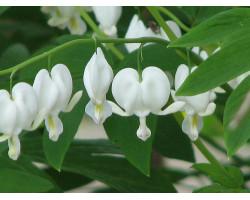 Dicentra spectabilis 'Alba' - Coeur saignant