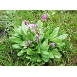 Dodecatheon 'Meadia Lilac'