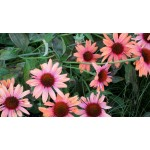 Echinacea 'Big Sky Sundown'