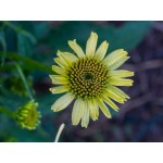 Echinacea 'Cleopatra'