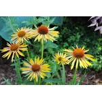 Echinacea 'Big Sky Harvest Moon'