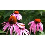 Echinacea 'Ruby Star'